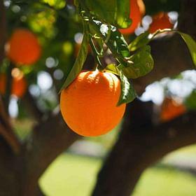 """תפוז """"ניו הול"""""""